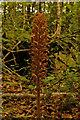 TQ1853 : Bird's-nest Orchid (Neottia nidus-avis) by Ian Capper