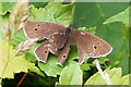 SX5259 : Ringlet Butterfly - Slightly Damaged by Tony Atkin