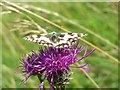 SU7897 : Marbled white on knapweed, Radnage by Andrew Smith