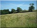 SO8482 : Ripening barley by Row17