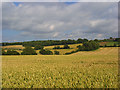 SU8413 : Fields of wheat, Chilgrove by Andrew Smith