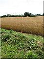 TG2225 : Wheat field beside Norwich Road by Evelyn Simak