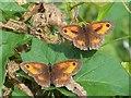 SU0725 : Gatekeeper Butterflies (Pyronia tithonus), Bishopstone by Maigheach-gheal