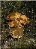 SN7948 : Fungus on Allt y Fedw by Rudi Winter