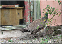SO5635 : Peahen with chick at Shipley Gardens by Pauline E