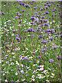 TF9106 : Lacy Phacelia (Phacelia tanacetifolia) by Evelyn Simak