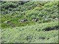 SH6743 : Welsh mountain goats by Elfyn Edwards
