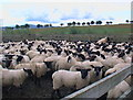 NT8333 : Sheepfold full of lambs spayned from their mothers by ian shiell