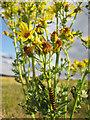 TF8545 : Cinnabar Moth caterpillar on Ragwort by Zorba the Geek