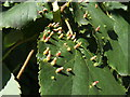 NS3977 : Nail galls on lime by Lairich Rig