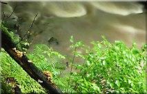 J4681 : Fungus, Crawfordsburn Glen (11) by Albert Bridge