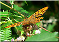 SX8088 : Silver Washed Fritillary by paul dickson