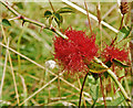 SD4482 : Robin's Pincushion Gall by Gary Rogers