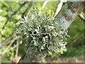 NS3778 : A lichen - Ramalina fastigiata by Lairich Rig