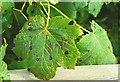 J4774 : Infested sycamore leaf, Kiltonga by Albert Bridge