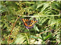 NS4783 : Small Tortoiseshell Butterfly (Aglais urticae) by Lairich Rig