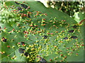 NS3976 : Sycamore leaf with galls and tar spot fungus by Lairich Rig