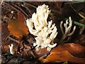 NS3984 : Crested Coral Fungus (Clavulina coralloides) by Lairich Rig
