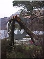 NS3598 : Fallen Tree by the Memorial at Rowardennan by Sarah Charlesworth