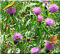 SX7880 : Knapweed - insects love it by paul dickson