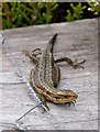 SD4583 : Common Lizard by Dave Green