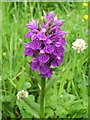 NS5073 : Northern Marsh-orchid (Dactylorhiza purpurella) by Lairich Rig