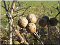 NS3878 : Oak marble galls by Lairich Rig