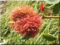NS4282 : Bedeguar gall on dog rose by Lairich Rig