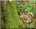 J2458 : Squirrel, Hillsborough Forest by Albert Bridge