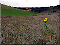SE9336 : A Solitary Swin Dale Sunflower by Andy Beecroft