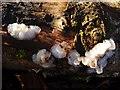 NS3983 : White Brain fungus (Exidia thuretiana) by Lairich Rig