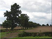 SO7729 : Line of oaks by Pauline E