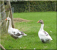 SO7729 : Geese at Hethelpit Cross by Pauline E