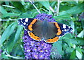 SO6424 : Red Admiral Butterfly, Vanessa atalanta by Jonathan Billinger