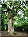 TG1124 : An ancient oak by Evelyn Simak