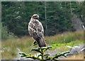 NG8440 : Watchful buzzard by sylvia duckworth