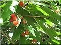 NH8754 : Wild cherries by Lis Burke