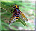SU4341 : Barton Stacey - Hoverfly (Volucella zonaria) by Chris Talbot