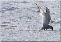 HU4039 : Arctic Tern by Hugh Meechan