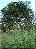 G9777 : Amazing Monkey Puzzle Tree: Copany by louise price