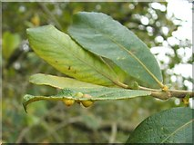 NS3778 : Leaf galls on grey willow by Lairich Rig