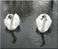 NZ3571 : Swans at Marden Quarry by Antonia