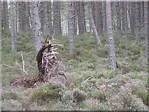 NH9817 : Abernethy Forest, below Tore Hill by Richard Webb