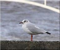 D3115 : Bird on a wall, Glenarm by Kenneth  Allen
