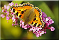 SE9721 : Small Tortoiseshell Butterfly (Aglais urticae) by David Wright