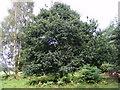 TL9386 : Oak Tree on Bridgham Heath by Adrian Cable
