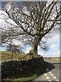 SD5887 : Beech tree beside hill road by Richard Webb