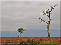 NN8812 : Moorland and pine trees. by Dr Richard Murray