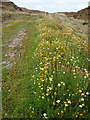 G9985 : Ox eye daisies line mountain track by louise price