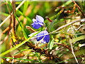 NN9731 : Heath Milkwort (Polygala serpyllifolia) by Dr Richard Murray